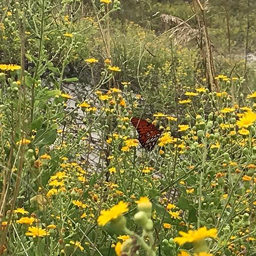 Butterfly on Masonboro Island