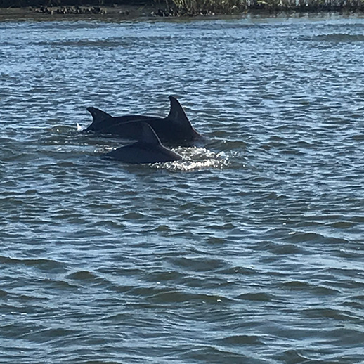 Dolphins-swimming-near-Wrightsville-Beach